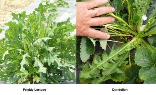 confused-prickly-lettuce-dandelion-zoom